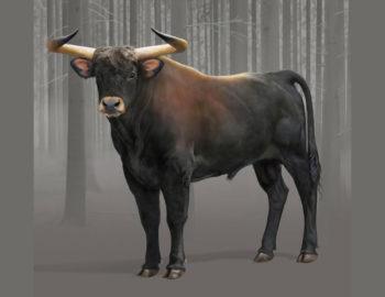 Wild Cattle or Aurochs