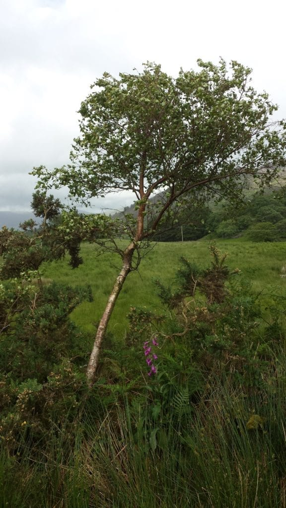 Birch in gorse